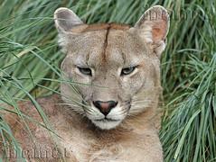 puma (Marina-Inamar) Tags: felinos specanimal