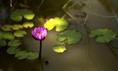 (ani lynn) Tags: pink flower nature water 50mm pond purple lilypads f18 50mmf18