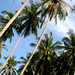 Coconut palms, Ko Muk