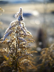 (myu-myu) Tags: morning winter nature field japan frost ngc panasonic     solidagoaltissima nokton25mmf095 dmcg3