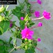"Mirabilis jalapa L., Nyctaginaceae • <a style=""font-size:0.8em;"" href=""http://www.flickr.com/photos/62152544@N00/6596763641/"" target=""_blank"">View on Flickr</a>"