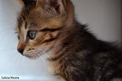 Tigro - 21/12 (Letcia Nocera) Tags: olhos fotografia leticia tigre verdes gatinho fofinho marrom bonitinho tigro olhando nocera