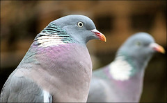 Pigeon Pair (Judy's Wildlife Garden) Tags: judykennett knightonpowys woodpigeonpair
