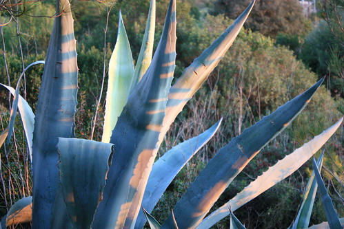 Sunset on Agave
