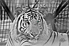 The white TiGer (    , ) Tags: bw white nature lines animal animals canon d tiger wb 600 qatar  d600 qtr   600d   ameera    q6r   amoora          600 600