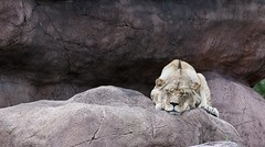 Im Zoo VIII (BenjaminBe) Tags: toronto canada zoo nikon lion vr afs lwe kanada 70300 4556 d80