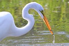 Great Egret (Ardea alba) (shelshots) Tags: bird florida waterbird naples prey egret greategret hunt ardeaalba wader eagleslake avianexcellence birdperfect
