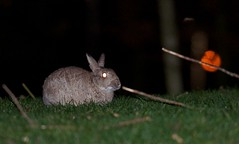 Odd time for lightning (-Porsupah-) Tags: winter wild rabbit bunny night one wildlife flash profile january solo single midnight 2012 lagomorph leporidae lookingover