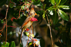 Northern Cardinal Female (Cardinalis cardinalis) 3744 (Dr DAD (Daniel A D'Auria MD)) Tags: nature birds florida wildlife birding sanibel cardinaliscardinalis femalecardinal gulfcoast northerncardinal dingdarlingnwr january2012 danieldauriamd danieldauriacom