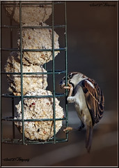 TREE SPARROW (Shaun's Nature and Wildlife Images....) Tags: sparrows shaund