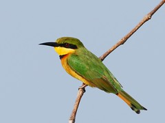 Little Bee-eater (anacm.silva) Tags: africa wild bird nature birds nikon wildlife natureza aves ave ricefields thegambia beeeater frica vidaselvagem abelharuco serekunda littlebeeeater meropspusillus kotu anasilva gmbia nikond40x