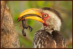 (aussie228430) Tags: food bird nature animal wildlife natuur scorpion prey stinger vogel venomous arthropod giftig schorpioen yellowbilledhornbill tockusleucomelas neushoornvogel hvhe1 hennievanheerden