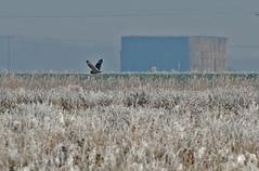 Short eared owl Burwell Fen 140112 (Augustus3164) Tags: wildlife cambridgeshire owls birdsofprey birdlife shortearedowl asioflammeus wintermigrant burwellfen