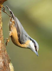Another Nuthatch.... (alison brown 35) Tags: uk winter wild bird nature canon woodland wildlife ngc january 300mm npc 7d nuthatch sittaeuropaea 2012 wigan countrypark haigh 14x greenheart amazingwildlifephotography