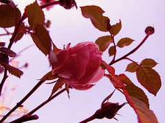 (capstick13) Tags: greenleaves rose bluesky pastels skyview brightcolours pinktones uptothesky pinkpetals inwinter