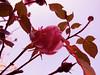 ❥ (capstick13) Tags: greenleaves rose bluesky pastels skyview brightcolours pinktones uptothesky pinkpetals inwinter