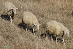 Il ritorno - Sardegna (eyeyphs) Tags: sardegna pecora enricopellegrino eyeyphs