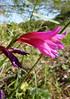 Menorca 097 (Jackie_Emm) Tags: pink wild plant flower beautiful spain menorca