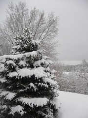 My pine tree (creed_400) Tags: trees winter snow west pine belmont michigan january covered snowfall