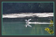 lungo il SILE (aldofurlanetto) Tags: volo sile cigno explora25gennaio2012
