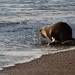 Male Northern Fur Seal named Cliff Kringle enters water