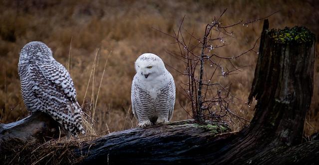 SNOWY OWL-12