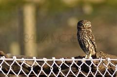 Mochuelo Comun - Athene Noctua (Salvador Moreira) Tags: naturaleza bird nature nikon little galicia owl noctua prey comun digiscoping athene gallego d90 mochuelo moucho ed70