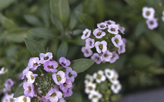 alyssum (smalljude) Tags: new flowers plants nature garden pot zealand wellington containers alyssum