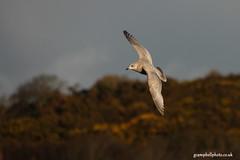 Kumlien's Gull (gcampbellphoto) Tags: nature birds iceland gull arctic northernireland seabird rarity ardglass irishwildlife kumliens gcampbellphotocouk