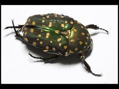 Protaetia niveoguttata (Mashku) Tags: nature beetle insects beetles coleoptera scarabeidae cetoniidae cetoniini cetoniine