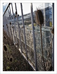 Wild (Maggie's Camera) Tags: winter sunlight cold abandoned glass empty greenhouse glasshouse backlighting teasels