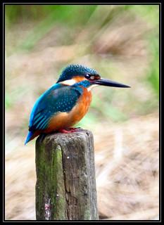 F_DSC_4572-翠鳥-Common Kingfisher-Alcedo atthis-散景-Bokeh-士林-Shilin-台北市-Taipei City-台灣-Taiwan-中華民國-Rep of China-Nikon D90-Nikkor 300mm-TC-14E II