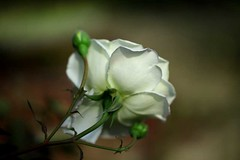 rose white (HamimCHOWDHURY  [Active 01 Feb 2016 ]) Tags: life pink blue red portrait 6 white 3 black green nature yellow canon eos colorful purple faces 5 sony gray magenta violet surreal 9 helen ash dhaka dslr vaio rgb bangladesh asif quader 60d bangladesh bengal frame incredible baganbari manikonj hemkuthi gettyimagesbang