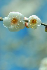 white clouds (snowshoe hare*) Tags: flowers nature kyoto   plumblossoms japaneseapricot  kitanotenmangushrine prunusmume