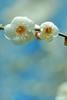 white clouds (snowshoe hare*(slow)) Tags: flowers nature kyoto 京都 梅 plumblossoms japaneseapricot ウメ kitanotenmangushrine prunusmume 北野天満宮梅苑