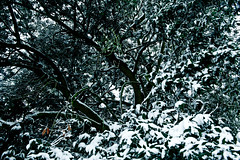 Snow sprinkled tree (Summer-Skye) Tags: trees winter bw white snow black tree walden filters connection saffron
