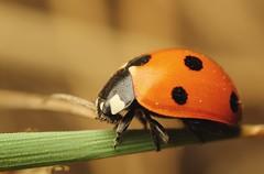 LB3 (gatorlink) Tags: macro ladybird ladybug 550d t2i canonmpe65mmf2815xmacrophoto kissx4
