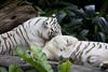 IMG_2476 (Marc Aurel) Tags: zoo singapore tiger tigre singapur whitetiger zoologischergarten singaporezoo weddingtrip hochzeitsreise bengaltiger pantheratigris zoologicalgarden königstiger pantheratigristigris royalbengaltiger pantheratigrisbengalensis weisertiger 5dmarkii eos5dmarkii indischertiger tigrebiancha