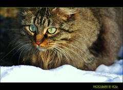 My sweet Lucy    (Viola & Cats =^..^=) Tags: winter cats snow animals kittens neve felini inverno gatti animali gattini
