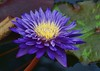 Another Water Lily (JHaas2000) Tags: waterlily purple longwoodgardens wow1 wow2 wow3