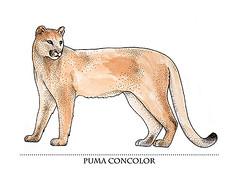 Puma Concolor (daniloagutoli) Tags: illustration cat watercolor tiger leon cheetah jaguar puma lynx stipple scientific