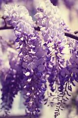 (Dasha May) Tags: flower tree turkey spring violet lila mor