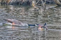 TongueLashing (jmishefske) Tags: park nature tongue wisconsin franklin geese fight pond nikon center canadian milwaukee april marsh yelling wehr territory 2014 dispute honking whitnall halescorners d7100