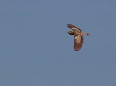 Bittern (robin denton) Tags: bird nature wildlife flight bittern rspb yorkshirewildlifetrust rspbreserve rspboldmoor