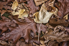The times they are changin' (Ian@NZFlickr) Tags: autumn leaves dead dry getting warmer