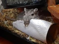 DSCN1029 (therovingeye) Tags: pets animals gerbil rodents gerbilhabitat