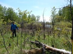 East Gallatin River herbicide use (Matt Lavin) Tags: montana bozeman acer riparian salix populus fraxinus greenash herbicide alnus fraxinuspennsylvanica eastgallatinriver bridgercreek