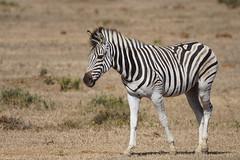 Suedafrika-47 (Lukas P Schmidt) Tags: addo nationalpark zebra elephantpark