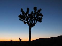 Sunset at Joshua Tree NP in California (Jeff Hollett in Vancouver, WA) Tags: california sunset centennial nationalpark anniversary year joshuatree 100 mojavedesert 2016