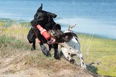 FAN_5225.jpg (Flemming Andersen) Tags: dogs denmark seaside hund dk hurup draget hurupthy northdenmarkregion helligsvej hebojebi
